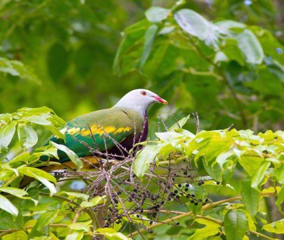 Species in Profile – Wompoo Fruit Dove