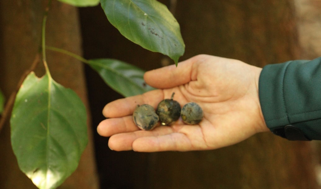 Minyon Quandong New Population Discovery