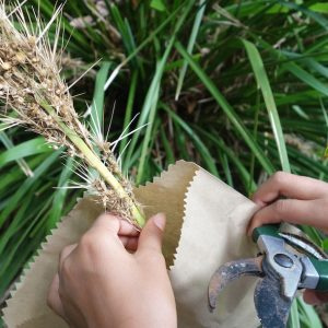 Growing Lomandra from Seed