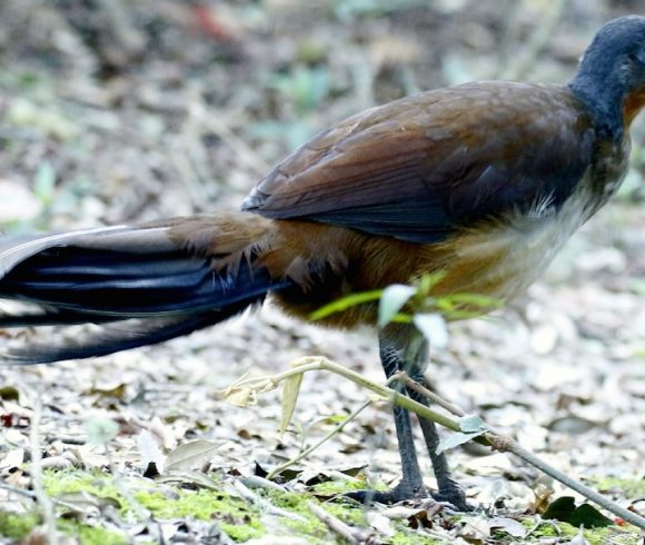 Species in Profile – Albert's Lyrebird