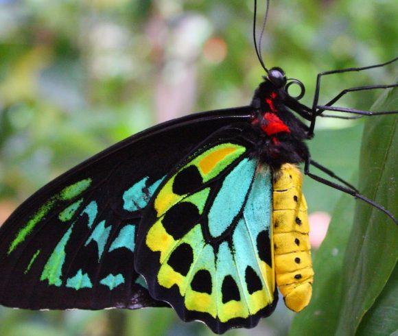 Species in Profile – Richmond Birdwing Butterfly