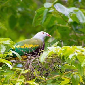 Species in Profile – Wompoo Fruit Dove