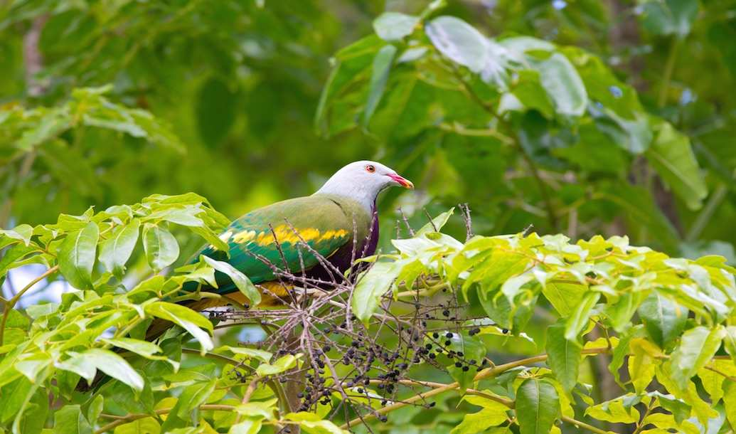 Pretty but shy: How to spot an evasive fruit dove
