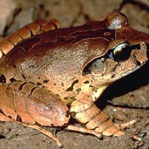 Species in Profile – Fleay's Barred Frog