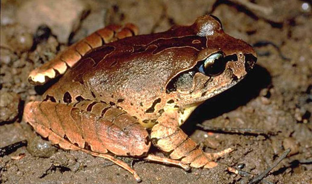Species in Profile – Fleay's Barred Frog