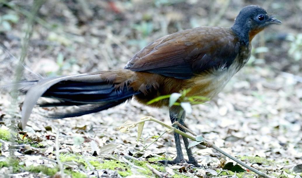 Species in Profile – Albert's Lyrebird