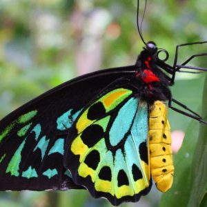 Species in Profile – Richmond Birdwing Butterfly