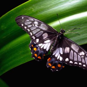 Don't Panic – Butterfly Id
