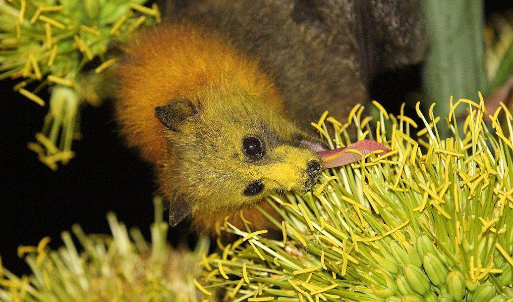Species in Profile – Grey Headed Flying Fox