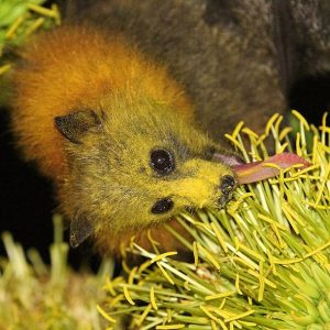 Species in Profile – Grey Headed Flying Fox