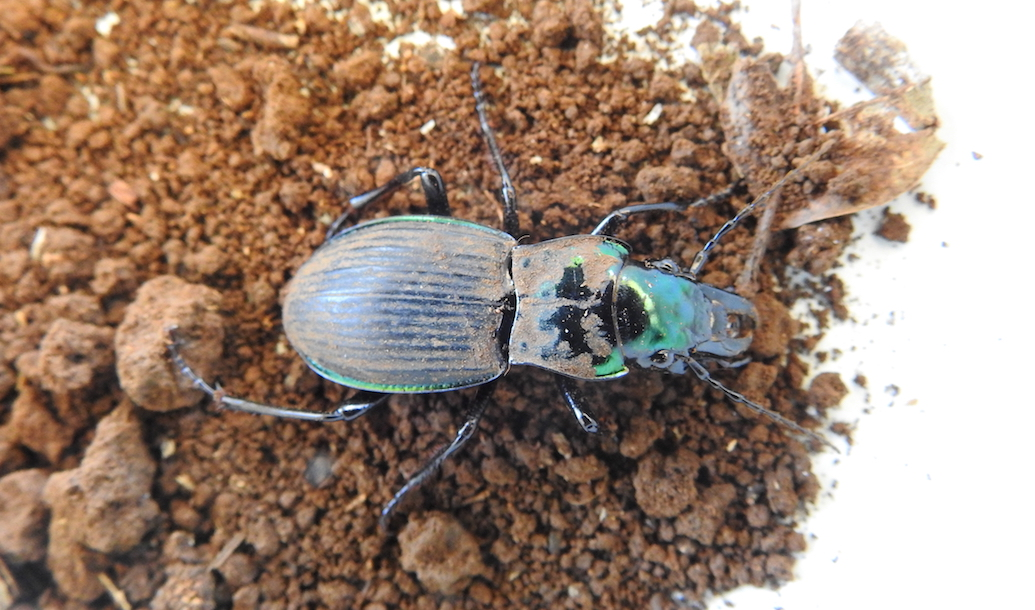 Rare Ground Beetle Found in Nightcap NP