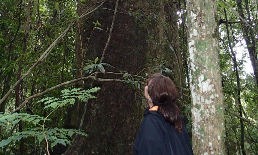 One of the top 10 Big Scrub trees – Teaks