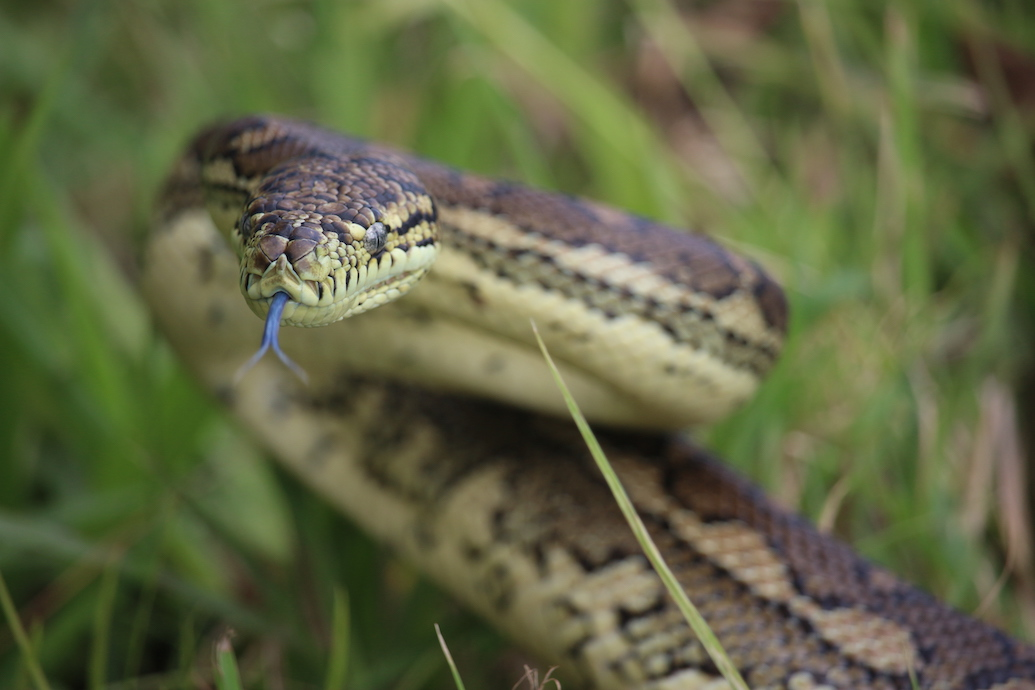 Tales from the archives: When 10-foot carpet snakes attack