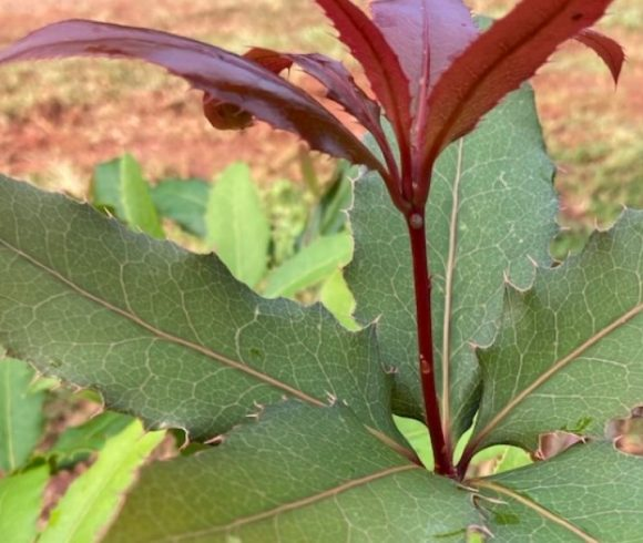 First Nightcap Oak planting undertaken to disperse species and reduce threat of fire